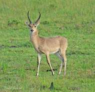Common reedbuck hunting