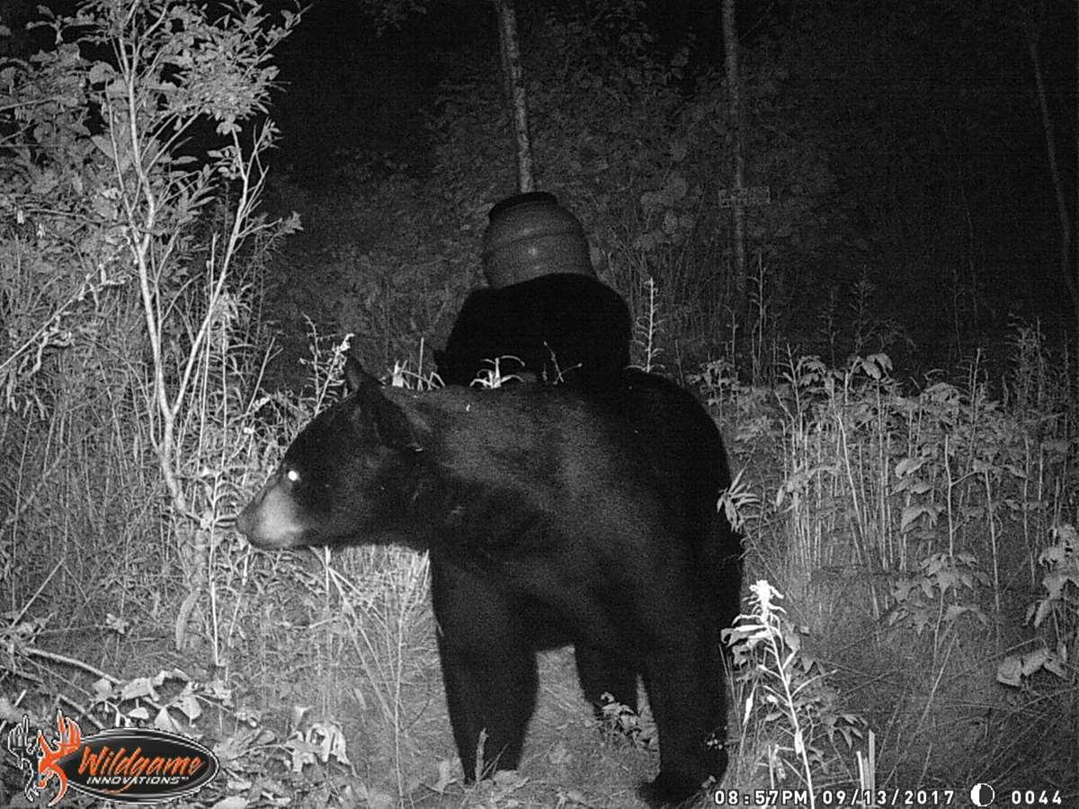 Blackbear Tour 2020 Black Bear Over Bait Week 3 (2020) / United States   BookYourHunt.com