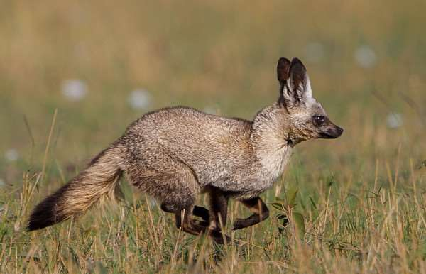 Bat-eared fox hunting