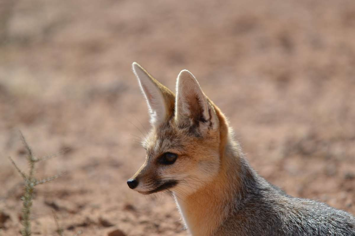 Cape fox hunting