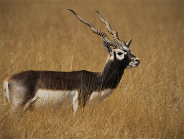 Hunting trips: Blackbuck