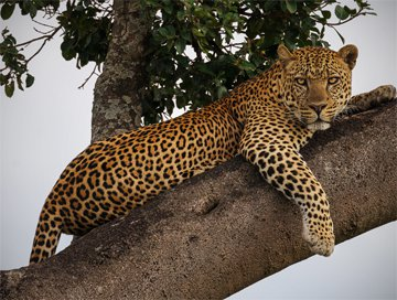 Hunting trips: Leopard