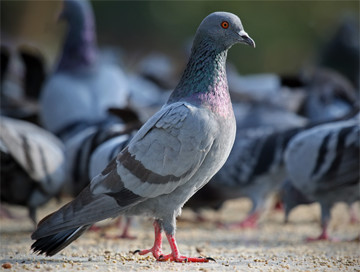 Hunting trips: Pigeon