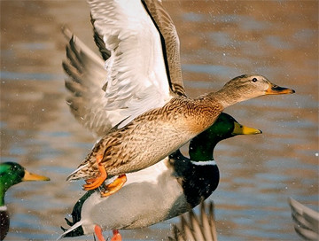 Hunting trips: Duck