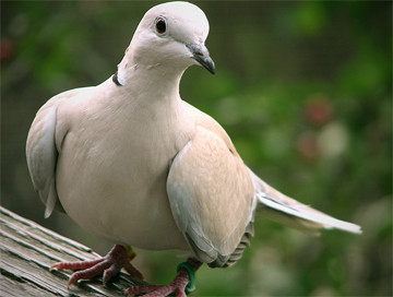 Hunting trips: Dove