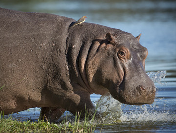 Hunting trips: Hippo