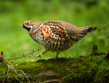 Hunting trips: Hazel Grouse