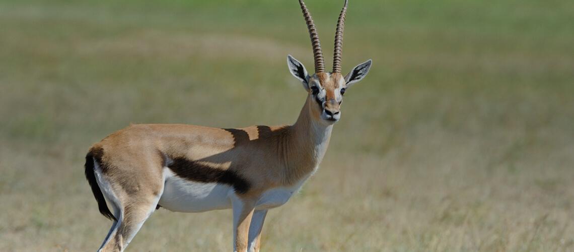 Thomson's Gazelle hunting trips - BookYourHunt.com