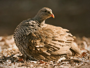 Hunting trips: Francolin