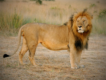 Hunting trips: Lion