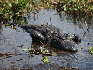 Hunting trips: Alligator
