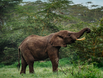 Hunting trips: Forest elephant