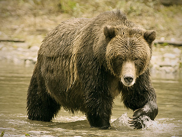 Hunting trips: Grizzly