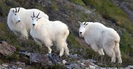 Mountain Goat Hunt