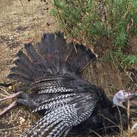 Rio Grande Wild Turkey Hunts