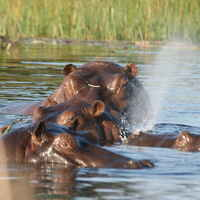 Hippo Culling Hunt: 2 Hunters x 8 Hippos