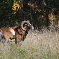 Mouflon high seat hunt in the fence