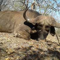 7 days Cape Buffalo Package