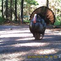 Osceola Turkey Hunt (1-2 guns)