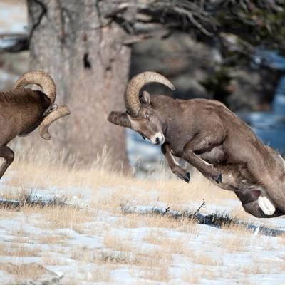 10 Day Bighorn Sheep Hunt 1x1