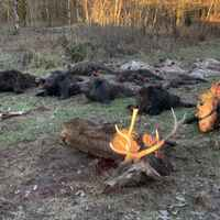 Driven Wild boar and Fallow deer