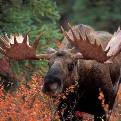7 day Archery Moose Hunt 2x1