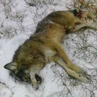 All year round wolf hunting