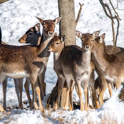 Fallow Deer and Red Deer Management Hunt