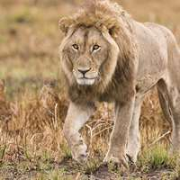 21 Day Lion, Buffalo & Plains Game Hunt