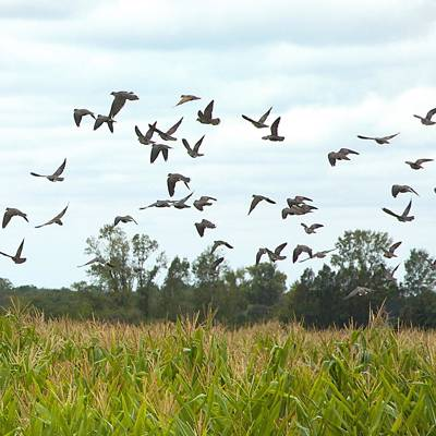 Dove hunting in Cordoba: 2 days/2 nights