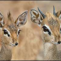 Dik-Dik,Klipspringer & Steenbok Hunt