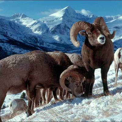 Bighorn Sheep Hunt 2021