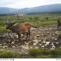 Maral Stag hunt in the mating time