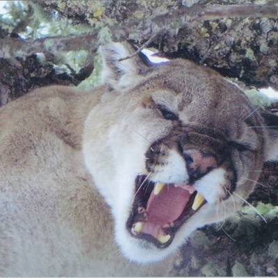 Mountain Lion Hunt 1x1 2020