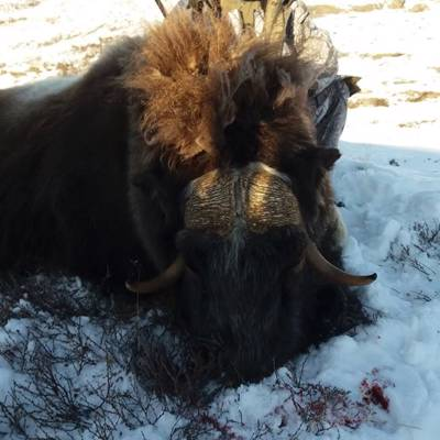 Winter Muskox Hunt 2021