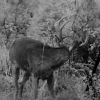 RARE VELVET TROPHY BUCK HUNT