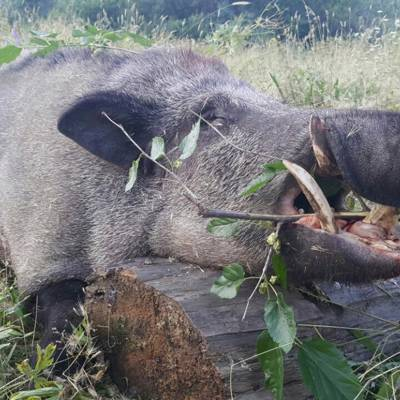 Big Tusker Wild Boar Hunt