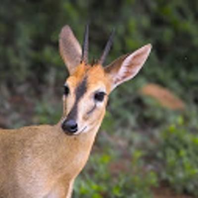 Common duiker hunting