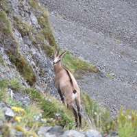 Chamois Buck Expedition Hunt 1x1 '20