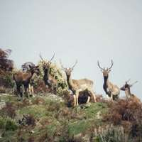 Red Stag, Chamois, Fallow & Boar