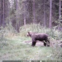 Brown Bear Spring Hunt