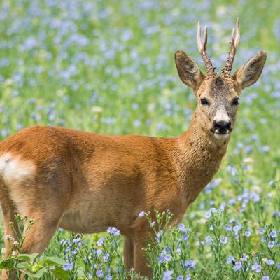 *SPECIAL OFFER* Roe Buck Hunt