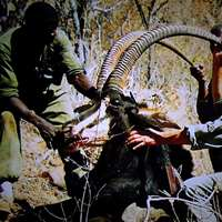 7 days Sable antelope Hunt - 2020