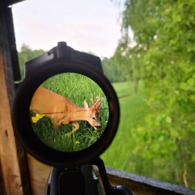 Roe Buck Hunting in Kutno