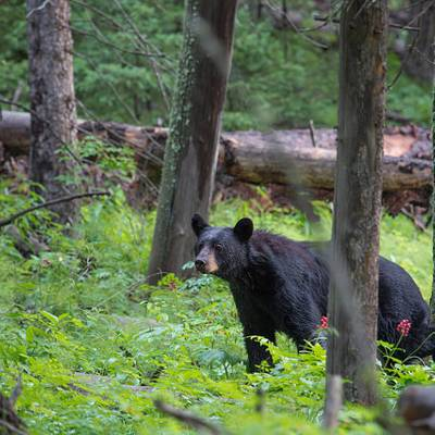 2019 Limited Entry Black Bear Hunt