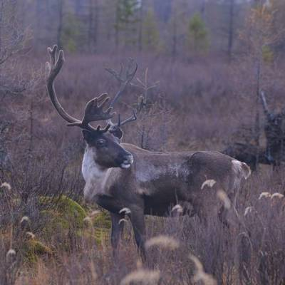 Reindeer, Red deer combined (Yakutia)