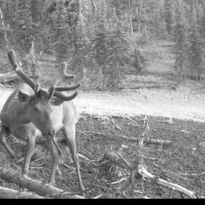 Maral hunting during the rut in 2021