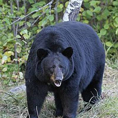 Spring Black Bear in BC 1x1, May 15-20
