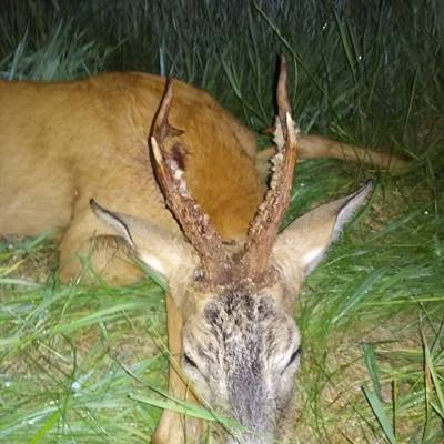 Roe deer hunting in Belarus