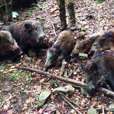 2 Days Wild boar hunt for 1 gun